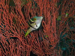 Valentinni's Sharpnose Puffer (DrTH80) Tags: bali fish indonesia underwater scuba diving pufferfish cantik gorgonia canthigaster valentini tembok