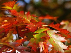 Autumn Oak by flickrolf