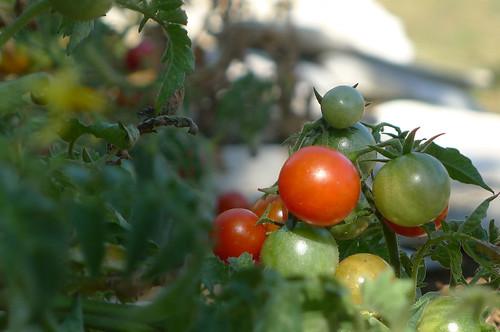 pomodorini iz Medulina