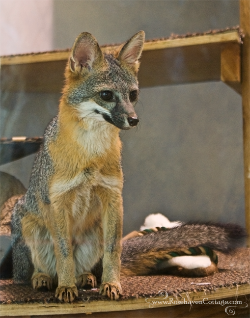 Grey fox (animal ambassador at the Lindsay Wildlife Museum)