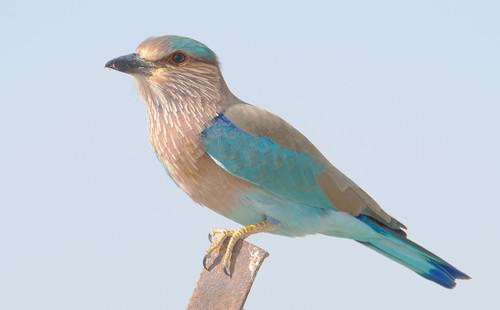 無料写真素材|動物|鳥類|インドブッポウソウ