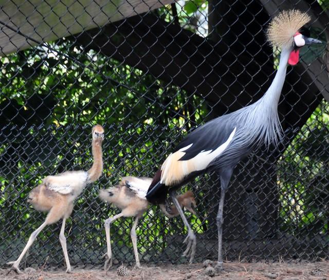 Африканский венценосный журавль с цыплятами (Зоопарк Вирджинии)