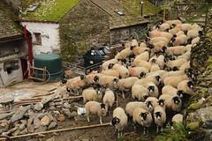 Low Snab Farm Sheep (chrisgj6) Tags: england sheep unitedkingdom farm lakes lakedistrict cumbria northwestengland gatesgarth