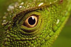 Enyalius iheringii 2/2 (Techuser) Tags: portrait macro green eye animal topv111 forest rainforest close reptile lizard msn raynox canon1855is parquedaonçaparda dailynaturetnc11