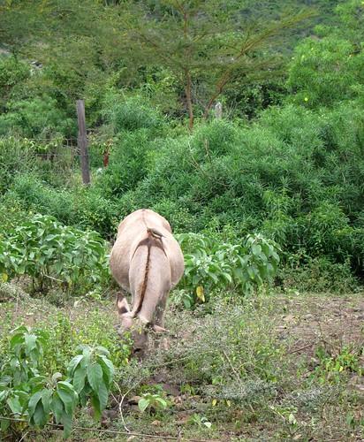 donkey kenya by Danalynn C