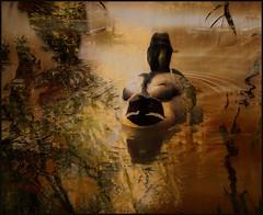 Autumn Duck (Tim Noonan) Tags: digital photoshop duck pond reflection autumn gold awartdtree legacy maxfudge awardtree art manipulation shockofthenew sotn vividimagination maxfudgeexcellence exoticimage artdigital netartii maxfudgeawardandexcellencegroup shining ultramodern