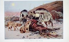 Anglų lietuvių žodynas. Žodis canis aureus reiškia <li>canis aureus</li> lietuviškai.