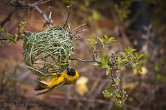 A Black-Headed Oriole weaves a nest at St. Benedict's Retreat Center