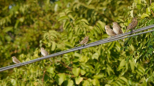 Clay-colored Sparrows and Dickcissels