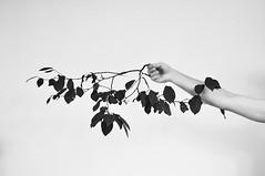DSC_0011 (raya y punto) Tags: tree hoja arbol leaf arm rama brazo prunus pruno brench