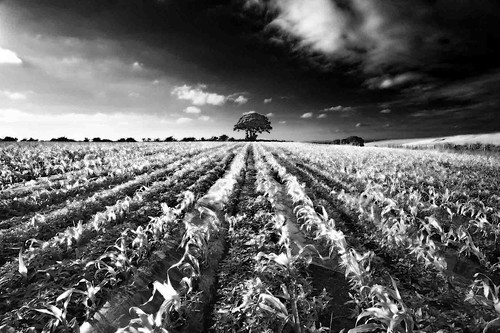 Corn Field Nr Silloth, Cumbria.