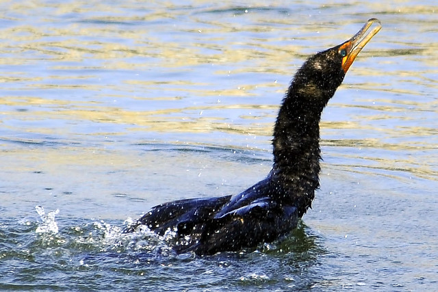 shaking double crested cormorant
