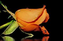 Para todos os meus amigos do Flickr (Zéza Lemos) Tags: flores portugal water rose água canon natureza natur flor rosa gotas jardim algarve rosas reflexos amistad vilamoura bestcapturesaoi
