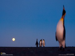ecstatic display (King Penguins)