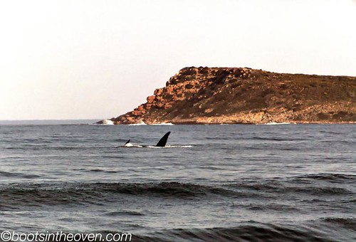 Southern Right Whales at Hermanus!
