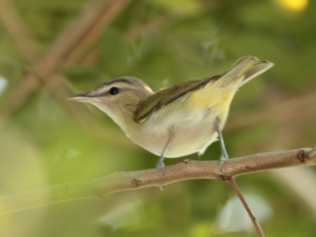 Red-eyed Vireo 2-20110914