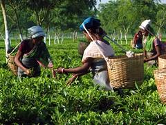 Tea pickers at work. (Linda DV) Tags: people woman india canon geotagged tea fields assam 2008 sevensisters teafields 7sisters northeastindia teapicking powershots5is lindadevolder