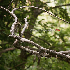 Old dead branches in the wood - Jupiter 200mm f4 m42 (Margall photography) Tags: wood old photography bokeh branches marco jupiter f4 200mm galletto 21m margall