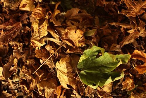 Leaf at Burgoyne Bay