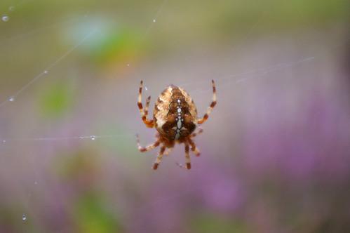 Common Spider 2