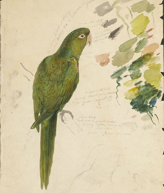 Green parrot - graphite and watercolour drawing (14)