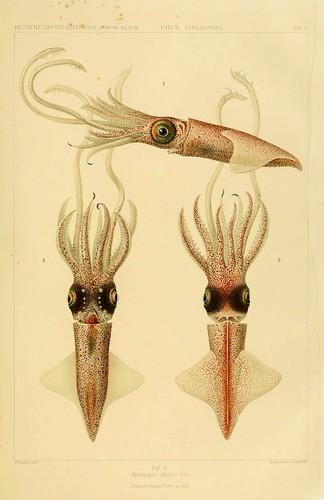 013-Die Cephalopoden 1910- Carl Chun