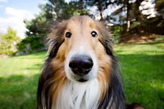 9/12: (Giggle) (Kerfuffle~) Tags: dog sorry 912 sheltie wideangle fergus dognose bwahaha shetlandsheepdog lensdistortion 12monthsfordogs twelvemonthsfordogs