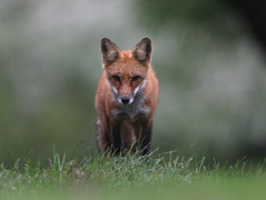 Red Fox (Hard-Rain) Tags: nature rain dark mammal illinois eyes dusk hiking wildlife fox stare mammalia redfox vulpesvulpes carnivora canidae vulpes explore23 vulpini