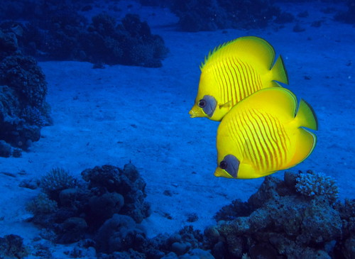 Yellow in the blue: a pair of Masked Butterflyfish, Chaetodon semilarvatus,at Gota Abu Ramada, Red Sea, Egypt #SCUBA