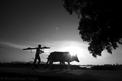 Walking with Sun (Light and Life -Murali முரளி) Tags: bw india silhouette rural cows gaya farmer shillouette todraw budhagaya img1549p1sc
