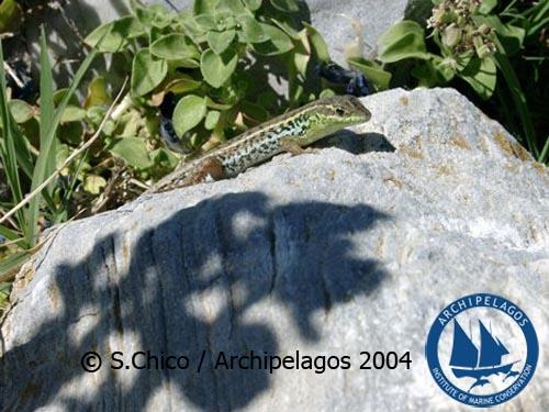 Snake-eyed Lacertid/ Οφίσωψ (Ophisops elegans)