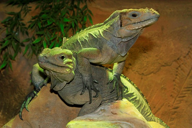 Rhinoceros Iguanas
