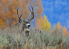 Autumn Mule Deer Buck - 1234bsg (teagden) Tags: autumn fall hole jackson deer wyoming buck mule jacksonhole 2010 jenniferhall