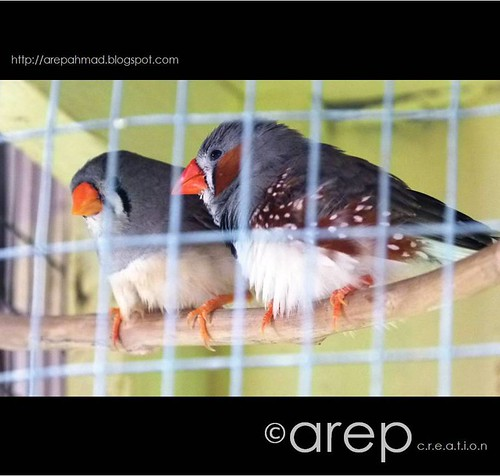 zebraFinch1