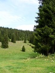 pica commun (L'herbier en photos) Tags: norway suisse jura spruce neuchtel picea pinaceae comn abies commun pica brvine pinaces pcea hkarst