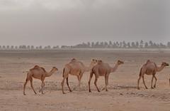 Camels of Dhofar region (Mariwan Salihi) Tags: ocean road tree nature fauna season persian flora asia peace gulf desert flag indian muslim islam palm east camel oasis arab monsoon romantic environment nights arabian middle aladdin peninsula oman camels gcc 1001 salalah sinbad omani dhofar khareef mirbat taqa