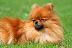 Pomeranian - Lola (Andy2982) Tags: dog pom lola pomeranian toydog centraleurope germanspitz spitztype pomeraniaregion