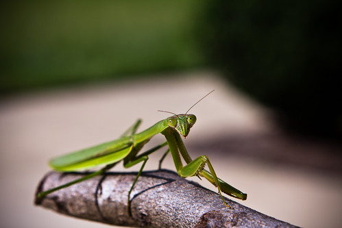 110926 Preying Mantis