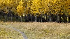 Pathway Into Fall (Sherlock77 (James)) Tags: trees alberta pathway fallcolours
