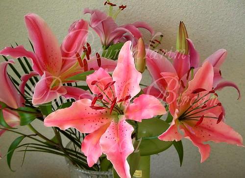 PEMBE LILYUM (Oriental Lilien Pink)