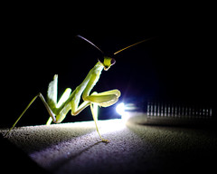 Illuminated (Truebritgal) Tags: light green wall night mantis insect eyes darkness tripod praying cyprus nighttime flashlight nikkor prayingmantis illuminate larnaca 50mmf18 nikond7000 truebritgal