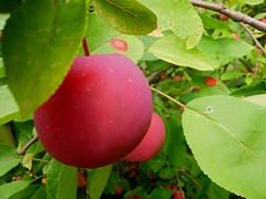 Harvestime (Maureclaire) Tags: autumn red macro apple fruit niceshot manzana alma herbst herfst harvest pommes el appel otoo  elma autunno haust  apfel outono hst syksy mela ma podzim pple hsten jablko ble musim sonbahar  eple omena jesen efterr sz lautomne    gugur  jesieni    jeseni blinkagain