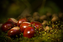Conkers (Darren Frodsham) Tags: horse fall darren canon autum games chestnuts chestnut conkers frodsham 550d