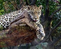 Giochi? (willa999) Tags: leopardo g9 oncapintada dietroaunvetro giochiconme