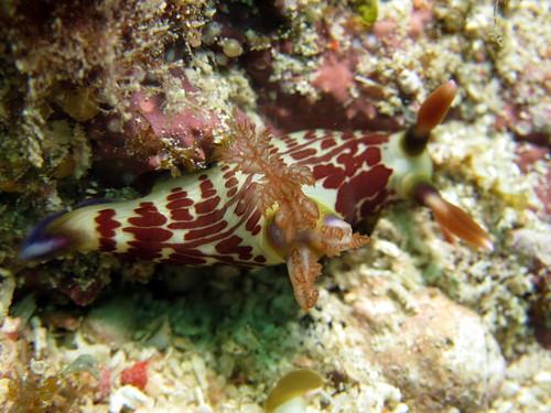 クロスジリュウグウウミウシ (Nembrotha lineolata)