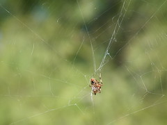 Hanging Out (SMTPHOTOS) Tags: spider spiders web spiderweb hanging webs spiderinweb spiderinaweb