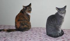 Gracie & Millie 4 September 2011 0004b 170 (edgarandron - Busy!) Tags: cats cute cat gracie feline tabby kitty kitties tabbies millie graytabby patchedtabby