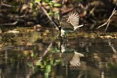_53F7363 Eastern Phoebe (~ Michaela Sagatova ~) Tags: bird easternphoebe bif flycatcher birdinflight dendroicacoronata sayornisphoebe birdphotography michaelafotheringham michaelasagatova