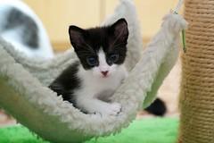 Anabelzinha (neeonline) Tags: cute animal cat puppy kitten gato felino fofo filhote gatinho