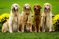 | Four Goldens and Their Leader | (SOBPhotography) Tags: rescue dog chien pet dogs cane goldenretriever golden canine hond retriever perro hund goldenretrieverrescue flickraward highqualitydogs